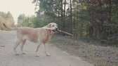 engedelmes : white Labrador with a stick in her mouth approaches the girl in black pants and pink sneakers. Sunny spring weather in the forest. Steadicam shot