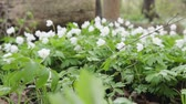 dywan : Glade with snowdrops in the spring forest. Flowers swaying in the wind. Close up