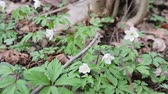 koberec : Glade with snowdrops in the spring forest. Flowers swaying in the wind. Close up