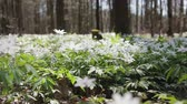 botany : Glade with snowdrops in the spring sunny forest. Flowers swaying in the wind. HD