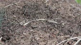 comunidade : Many red ants crawling on anthill. Forest insects are working. Formica Rufa. Timelapse