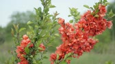 escarlate : Japanese quince Bush with flowers standing in the field and swaying in the wind. Its spring Vídeos