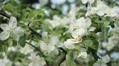 crab apple : Branches with flowers of Apple trees swaying in the wind. Close up