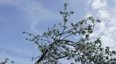 crab apple : Branches with flowers of Apple trees swaying in the wind against the sky and clouds. Timelapse