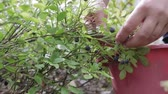 горсть : Close - up of the female hand collects wild berries in the forest Стоковые видеозаписи