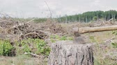nyírfa : The axe cuts into a log, against the background of the cut down wood. Deforestation. Protection of forests from bark beetles Stock mozgókép