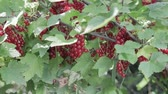 red currant : Hand collects red currant from the Bush. Harvesting berries