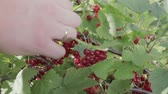 collects : Hand collects red currant from the Bush. Harvesting berries