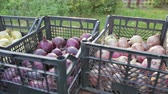 kök : Edible, red and white onions is in a plastic crates, the onion harvest, close-up