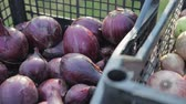 plantation : Edible, red and white onions is in a plastic crates, the onion harvest, close-up