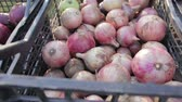 çıktısı : Edible, red and white onions is in a plastic crates, the onion harvest, close-up
