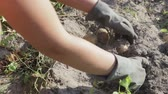 crips : The hands of a farmer in black gloves harvested from the soil tuber a potatoe, close-up