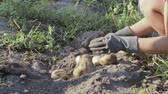 клубень : The hands of a farmer in black gloves harvested from the soil tuber a potatoe, close-up