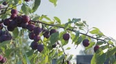 buda : The harvest of plums, branch with ripe, juicy plums hanging. Through the foliage plays with the sunlight.Close up