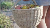 harvesting vegetables : The girl-farmer takes a basket full of tomatoes and carries around the garden, a basket close-up. The harvest of tomatoes