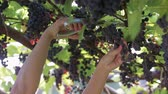vine plant : Hand girl winemaker cuts scissors ripe, delicious, environmentally friendly vine Stock Footage