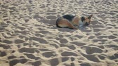 cansado : Homeless beautiful, big dog sleeping on the beach, in the sand, curled up