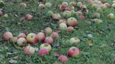 Harvest late autumn apples. Many red fruits lie on the lawn, rotting and lose their presentation