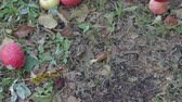 podre : Harvest late autumn apples. Many red fruits lie on the lawn, rotting and lose their presentation