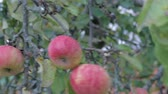 The harvest of autumn apples. Three juicy, ripe apples of red hue on the branches of the tree and move from strong gusts of wind. Close up