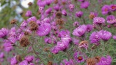 Wilted flowers of autumn Aster. Close up