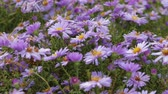 ботаника : Flowers perennial Alpine asters. Close up