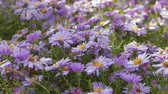 тычинка : Flowers perennial Alpine asters. Close up
