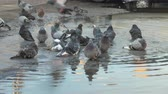 A group of city pigeons bathe in a big dirty puddle. Birds are cleaned in water and fly away Stock Footage