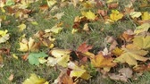 Yellow, orange and red maple leaves lie on the grass in the autumn Park. Panning shot Stock Footage