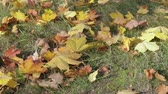 11월 : Yellow, orange and red maple leaves lie on the grass in the autumn Park. Panning shot 무비클립