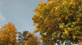 Large maple with yellow and orange leaves on a blue sky background. Panning shot Stock Footage