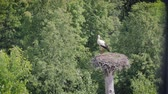 cegonha : View from the window of the house on the white stork standing in the nest. The bird is waiting for its soul mate Vídeos