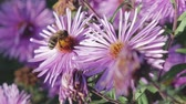 százszorszép : An adult honeybee collects nectar from a purple flower-Astra. Very important insect, beekeeping. Close up