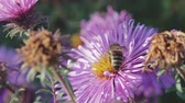 yabanarısı : An adult honeybee collects nectar from a purple flower-Astra. Very important insect, beekeeping. Close up