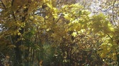 raio de sol : Panorama of autumn, yellow, maple forest, autumn landscape with sunlight. Leaves swaying in the wind