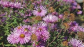 polinização : Adult bees collect nectar from purple, autumn flowers. Beekeeping, Indian summer