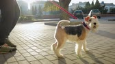 dva lidé : A young man walks down the street with his attractive dog Terrier on a red leash. The dog playfully runs and jumps Dostupné videozáznamy