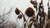 подсолнечник : The dried fruits of sunflowers, ready for harvest, standing in front of the misty fields