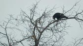 ornitoloji : An old black crow sits on a tree branch in late autumn against a gray sky. The concept of birds Stok Video