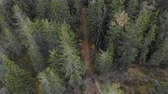 пышный : Coniferous, tall, beautiful forest with a little road a picture taken with a quadcopter, aerial view