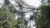 güneş : Steadicam shot of a pine forest in Sunny summer weather. Branches with needles and pine cones closeup. HD Stok Video
