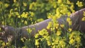 coltivazione : A womans hand strokes the flowers close - up in a field of yellow flowering rapeseed. Agriculture, cultivation of crops Filmati Stock