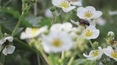небольшой : Honey bee collects pollen from flowers, flying from one flower to another