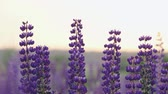 several : Several beautiful flowers narrow-leaved lupine dark blue slightly swaying in the wind. The splendor of nature in the soft rays of the setting summer sun