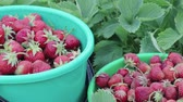 balde : Two buckets of ripe strawberries standing among the green bushes in their own garden on a summer farm. The concept of farming, gardening business Vídeos