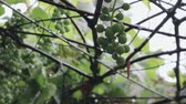 imaturo : Vineyard in the rain. A bunch of grapes with drops of water hanging on a branch on a blurred background