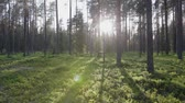 gyalogút : Steadicam shot of bright sunlight in a dense coniferous forest with blueberry plants on a warm summer day
