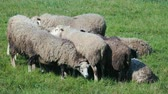 silouhette : Group of frightened gray sheep suddenly turn their heads at once, pay attention, and stop chewing the green grass. A herd of animals in the pasture. The concept of laughter and humor Vidéos Libres De Droits