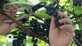 incasso : Pruning and harvesting. A hand with a pruner cuts a large, ripe, blue vine. Grape variety Isabella Stockvideo
