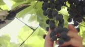 vadi : Close-up of a human gardener picking black grapes on a vine in a vineyard in sunny summer weather. Concept of wine from the Isabella variety